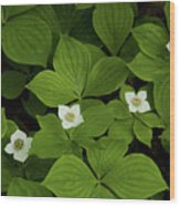 Woodland Bunchberry Blossoms Wood Print
