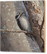 Woodpecker Feb 2011 Wood Print