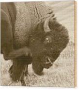 Woolly Itch ... Montana Art Photo Wood Print