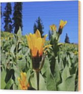 Woolly Mule's-ear At Lassen Park Wood Print