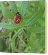 World Of Ladybug 3 Wood Print