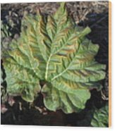 Wrinkled Green Rhubarb Leaf Wood Print