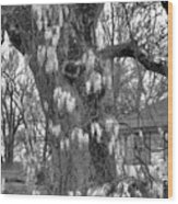Wysteria Tree In Black And White Wood Print