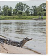 Yacare Caiman On Beach With Passing Boat Wood Print
