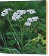 Yarrow Flowerheads Wood Print