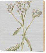 Yarrow Wood Print