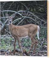 Yearling Fawn Wood Print