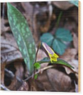 Yelllow Trout Lily 1 Wood Print