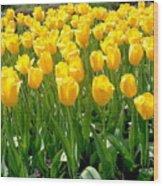 Yelllow Tulip Garden Wood Print