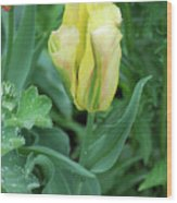 Yellow And Green Striped Tulip Flower Bud Wood Print