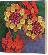 Yellow And Orange Lantana At Pilgrim Place In Claremont-california Wood Print