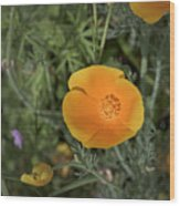 Yellow And Orange Poppy Wood Print