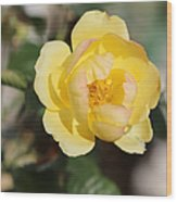 Yellow And Pink Tipped Rose Wood Print