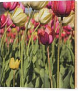 Yellow And Pink Tulips V 2018 Wood Print