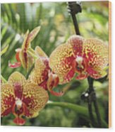 Yellow And Red Spotted Phalaenopsis Orchids Wood Print