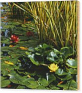Yellow And Red Water Lilies In A Pond Wood Print