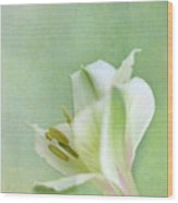 Yellow And White Peruvian Lily Wood Print