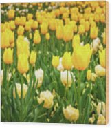 Yellow And White Tulips In Canberra In Spring Wood Print