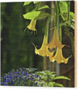 Yellow Angel Trumpet Wood Print