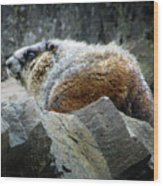 Yellow Bellied Marmot - Glacier National Park Wood Print
