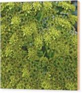 Yellow Blossoms Of Green Aeonium In Huntington Desert Garden In San Marino-california  Wood Print