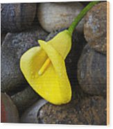 Yellow Calla Lily On Rocks Wood Print by Garry Gay