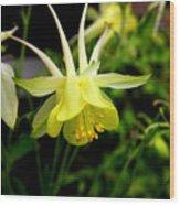 Yellow Columbine 1 Wood Print