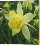 Yellow Columbine 3 Wood Print
