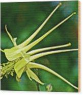 Yellow Columbine In Huntington Gardens In San Marino-california Wood Print