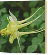 Yellow Columbine Profile Wood Print