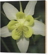 Yellow Columbine Squared 2 Wood Print