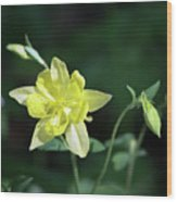 Yellow Columbine Squared Wood Print