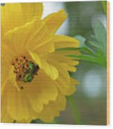 Yellow Cosmos Flower Wood Print