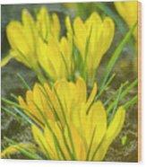 Yellow Crocuses Close Up Wood Print