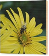 Yellow Daisy And Bee  Wood Print