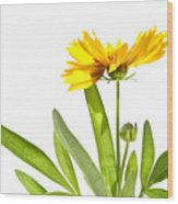Yellow Daisy Isolated Against White Wood Print by Sandra Cunningham