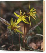 Yellow Dogtooth Violets Wood Print