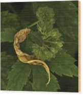 Yellow Drying Leaf With Seeds Wood Print