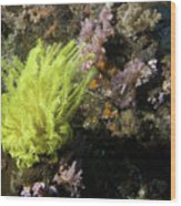 Yellow Feather Star Wood Print