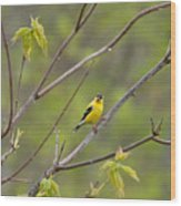 Yellow Finch In Spring Wood Print