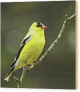 Yellow Finch Perching Wood Print