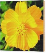 Yellow Flower On Black Background Wood Print
