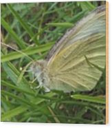 Yellow Fringed Sulphur Butterfly In Grass Blades  Image No 1  Indiana Wood Print