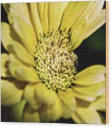 Yellow Gerbera Wood Print