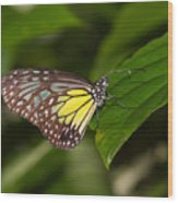 Yellow Glassy Tiger Butterfly Wood Print