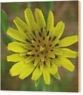 Yellow Goatsbeard Wood Print