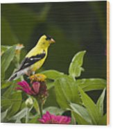 Yellow Goldfinch Wood Print