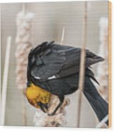 Yellow Headed Blackbird #7 Wood Print