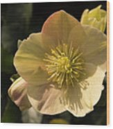 Yellow Helleborus Wood Print