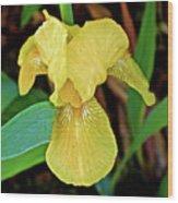 Yellow Iris At Pilgrim Place In Claremont-california Wood Print